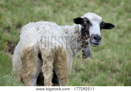 Funny dirty sheep with a bell on the neck