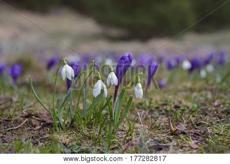 Spring flowers. Snowdrops and crocus primroses on sunny meadow