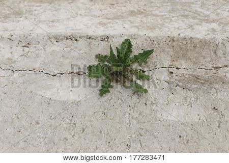 A small but powerful grass pierces hard concrete and stones