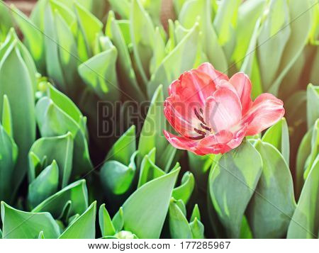 Lone red tulip blooming in the middle of green leaf