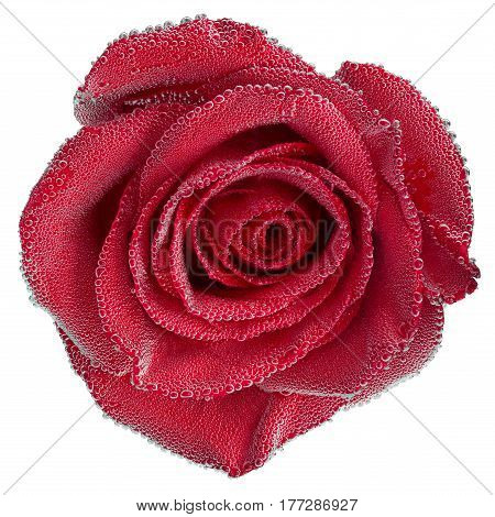 Red rose under air bubbles closeup isolated on white background with selective focus