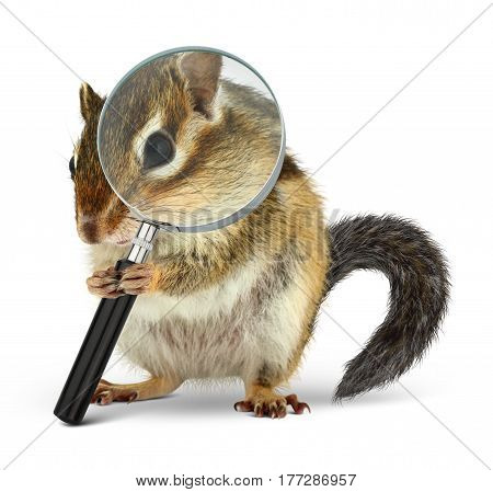 Funny pet chipmunk searching with loupe on white