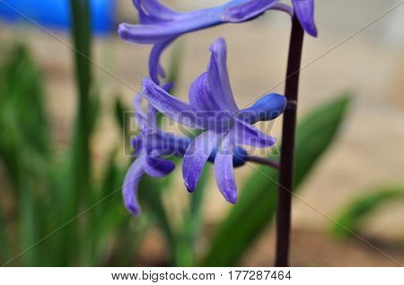 Blue hyacinth flower. Hyacinth flower close-up. First hyacinth flowers this spring