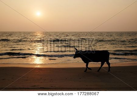 Silhouette of a cow on a sea beach. India