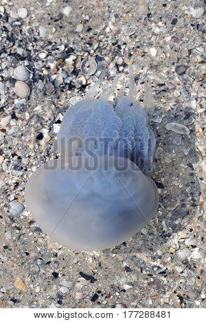 Jellyfish In Sea At Sun Summer Day