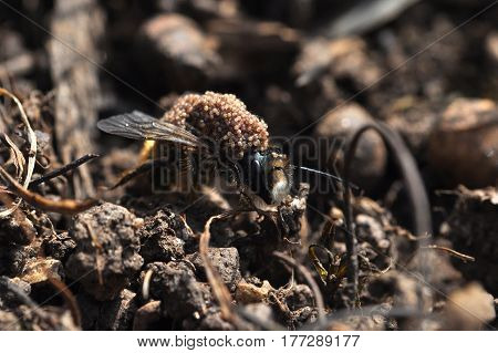 Wasp or bee mom carrying her eggs on her back. Queen bee keep her eggs on shoulder. Taking care of offspring