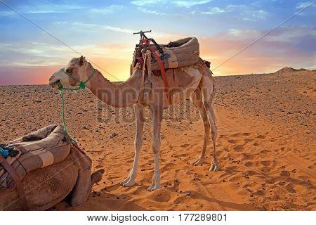 Camel in the Erg Shebbi desert in Morocco
