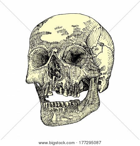 Anatomic skull with open mouth or jaw weathered and museum quality detailed hand drawn illustration. Vector Art.