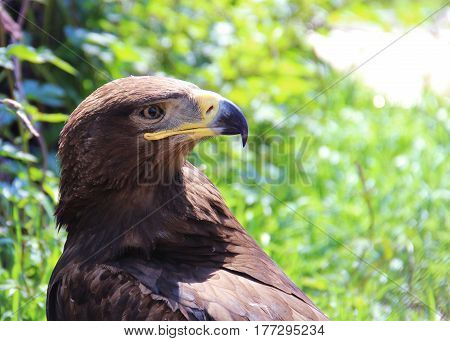 An European Eagle In Zoo. Concept Of Freedom, Prison, Will, Imprisonment