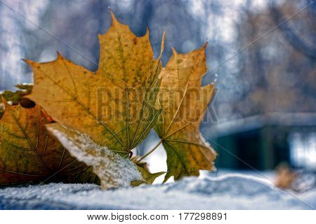 Dry leaves of maple in the snow