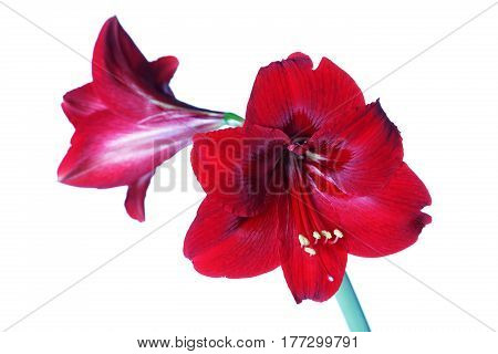 Red amaryllis isolated on white background close-up