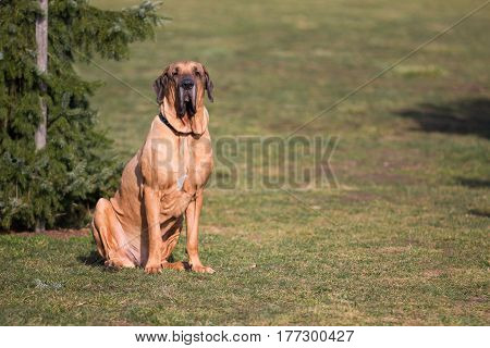 Male of dog breed Fila Brasileiro, Brazilian Mastiff in park in spring time