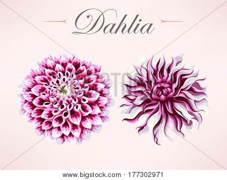 Vector set of violet high detailed dahlias