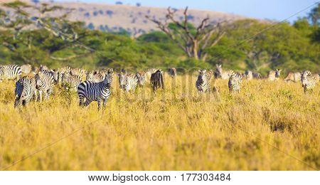 Many zebras grazing in the great plains of Serengeti Tanzania, Africa.