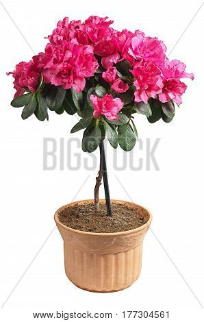 Blooming pink azalea in a pot isolated on white background