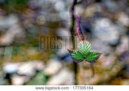 Dry green raspberry leaves in autumn park