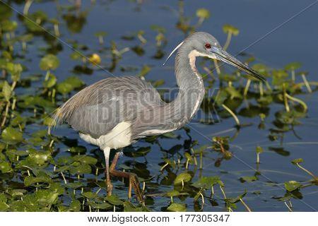 A Tricolor Heron, Egretta tricolor along the edge of a lake in Florida