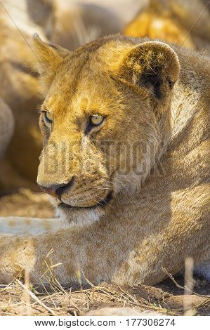 Large lioness in Serengeti Tanzania, Africa. Rests at the savannah.