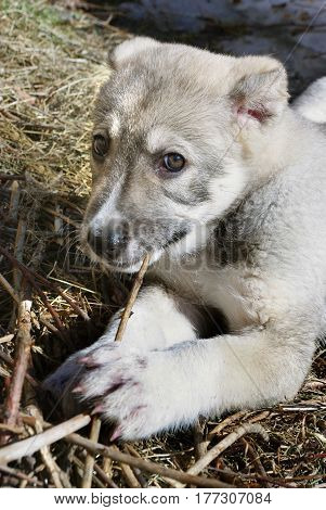 Funny little puppy of Central Asian shepherd dog gnawing a stick lying on the ground