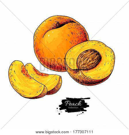 Peach vector drawing. Isolated hand drawn peach and sliced pieces.  Summer fruit artistic style illustration. Detailed bright vegetarian food. Great for label, poster, print, menu