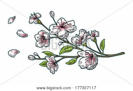 Sakura blossom. Cherry branch with flowers and bud. The petals are falling and fly. Vector color vintage engraving illustration. Isolated on white background.