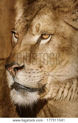 Close-up Portrait of Lioness against Brown Background