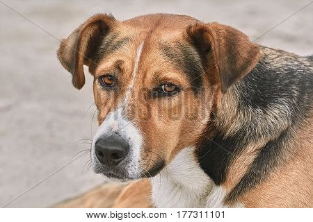 Close-up Portrait of Mongrel on the Beach