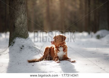 Nova Scotia Duck Tolling Retriever dog on nature in the forest park