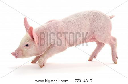 Small pink pig isolated on white background.