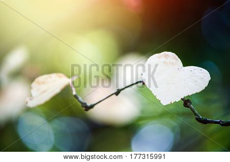 Colourful close-up of a heart shaped leaf on a small branch in the sunshine.