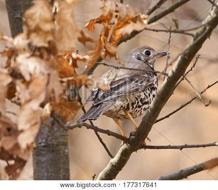 Song Thrush Hiding In The Tree