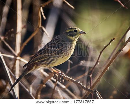 European Serin On A Branch