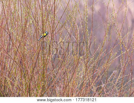 Blue Tit Bird In A Bush