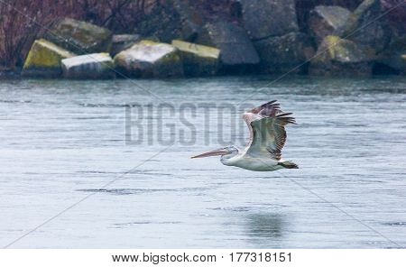 Great White Pelican Gliding Over River