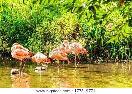 Pink flamingos in water. Rosa flamingos on lake.