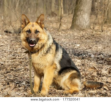 German shepherd dog sitting training in forest