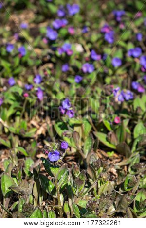 Spring blooming ground cover in a garden
