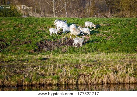 White goats on the pasture with green grass in Russia