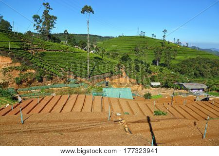 Landscape in Sri Lanka with garden beds and mountain tea plantation