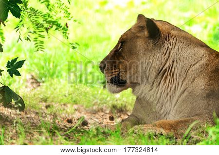 Lioness female. Panthera leo. Wild animal and wildlife