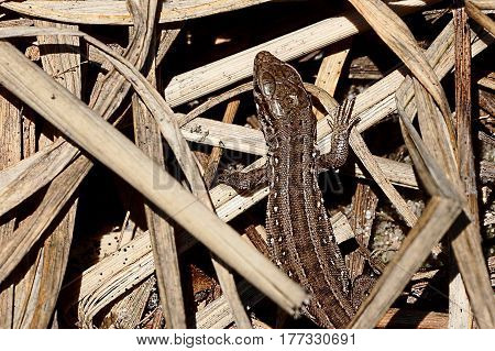 Gray lizard in dry grass in the forest