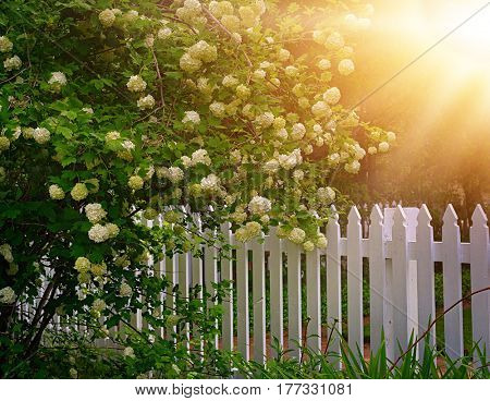 Snowball bush by a white picket fence.