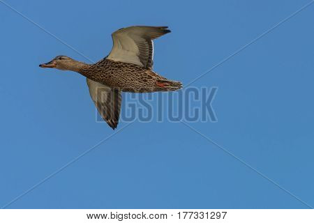Mottled Duck (Anas fulvigula) flies over the lake