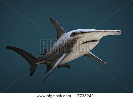 The Great Hammerhead Shark - Sphyrna mokarran is dangerous predatory fish. Underwater photography of sea life.