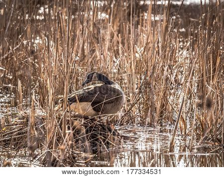 Canada Goose in swampland, adding grasses to nest