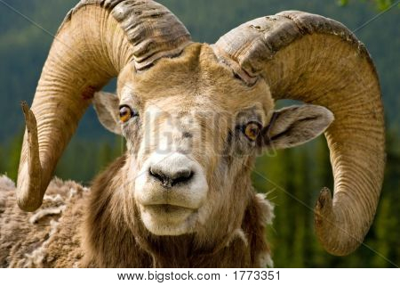 Those horns look like he's lost a few fights but they are still impressive - Big Horned Mountain Sheep in Banff National Park Banff Alberta Canada. poster