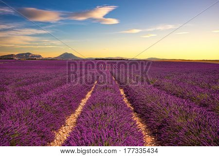 Lavender flower blooming scented fields in endless rows on sunset. Valensole plateau Provence France Europe.