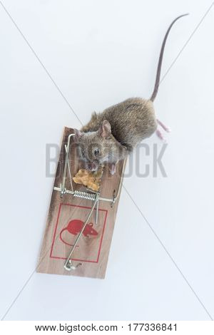 Dead mouse caught in trap on white background