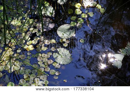 Travel to Arkaim Russia. Leaves of the water lilies on the pond in the sunlight.