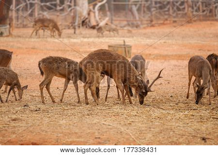 Red Deer On Red Dry Soil